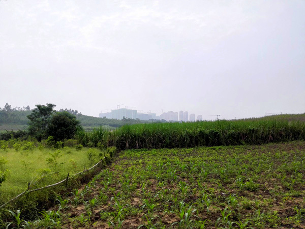 Urban ecology in Nanning… the skyline emerging behind agricultural fields.